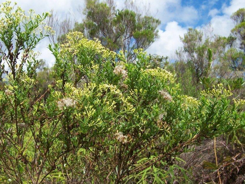 Ambaville (hubertia ambavilla), endemic plant of Reunion Island